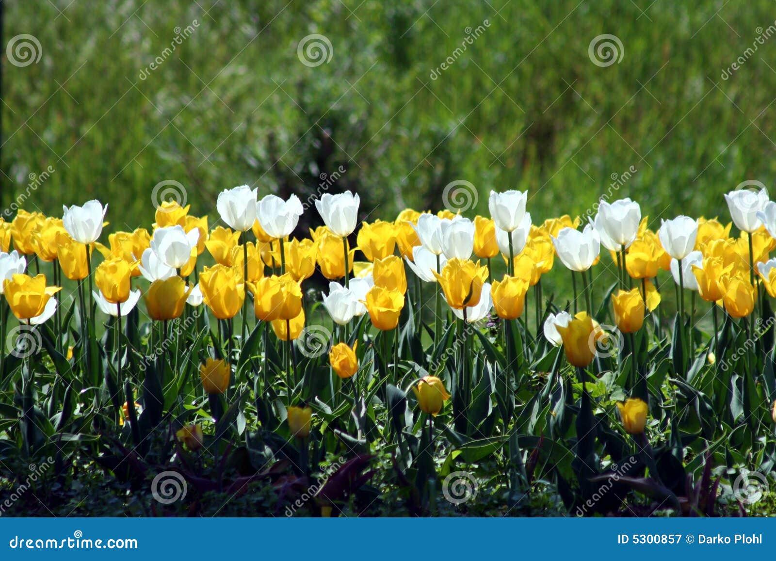 Download Bianco E Ywllow Del Tulipano Immagine Stock - Immagine di base, molla: 5300857