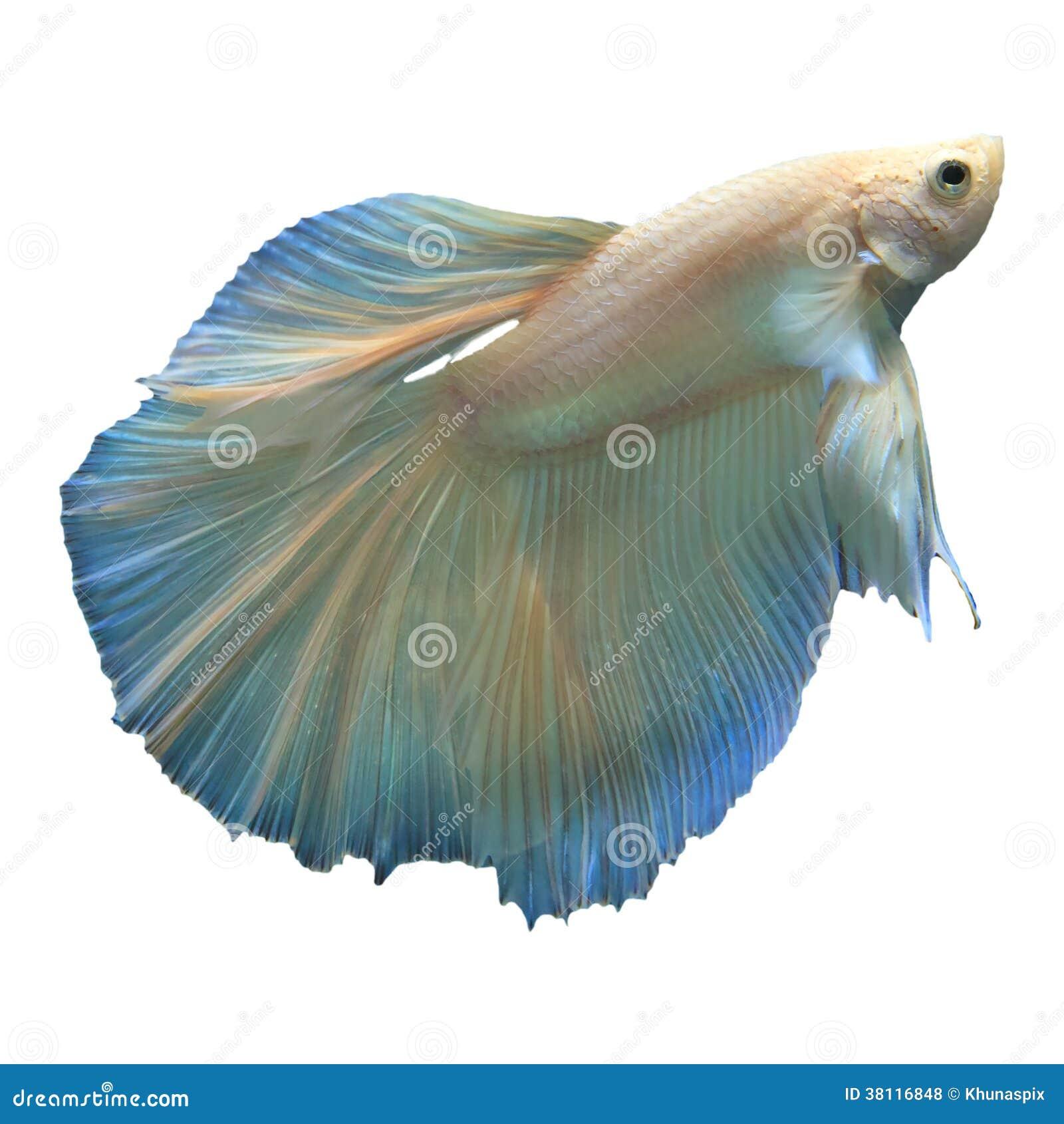 Bianco Isolato Betta Combattente Del Pesce Fotografie Stock Libere da
