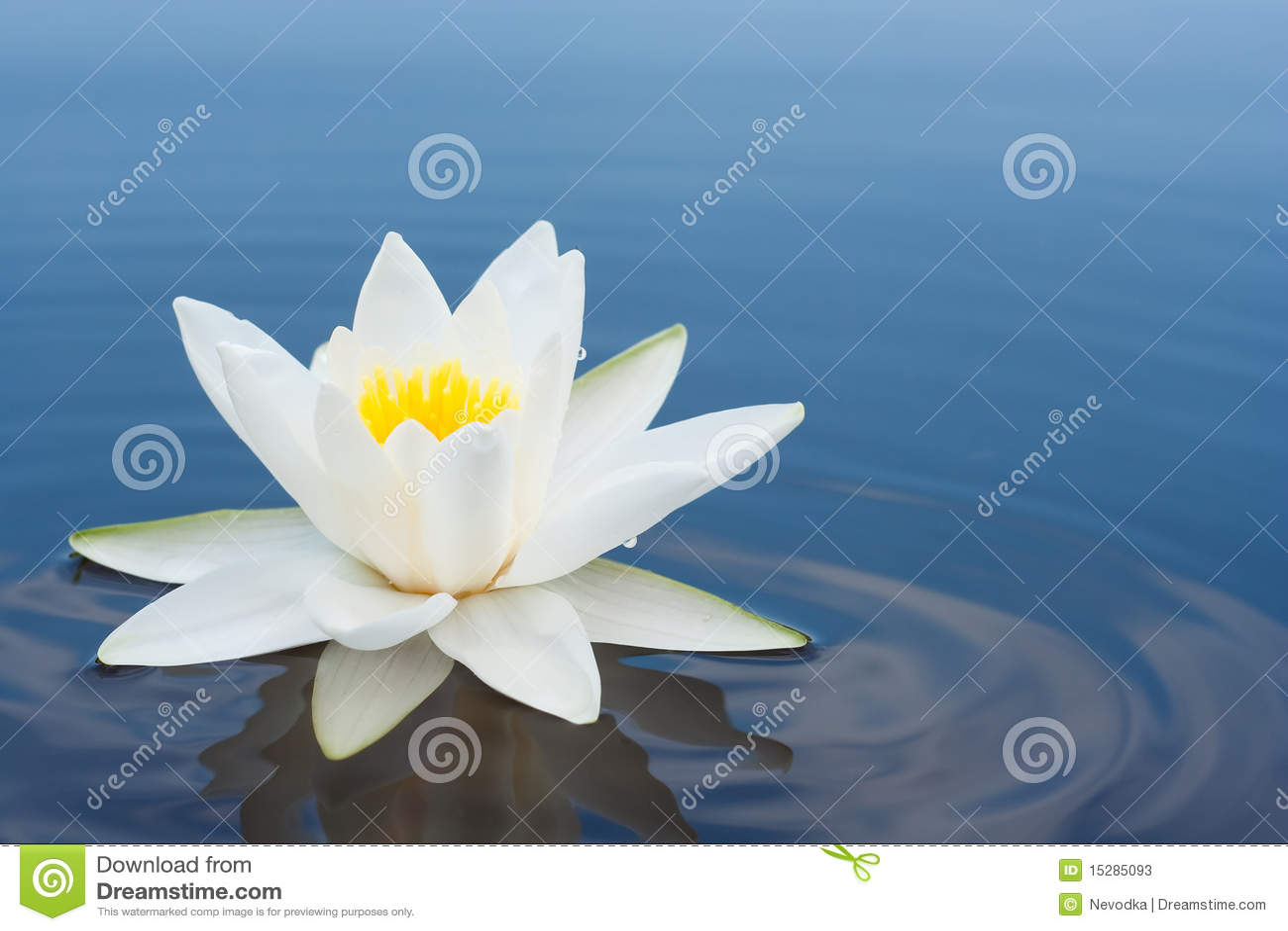 Bianco lilly sul lago