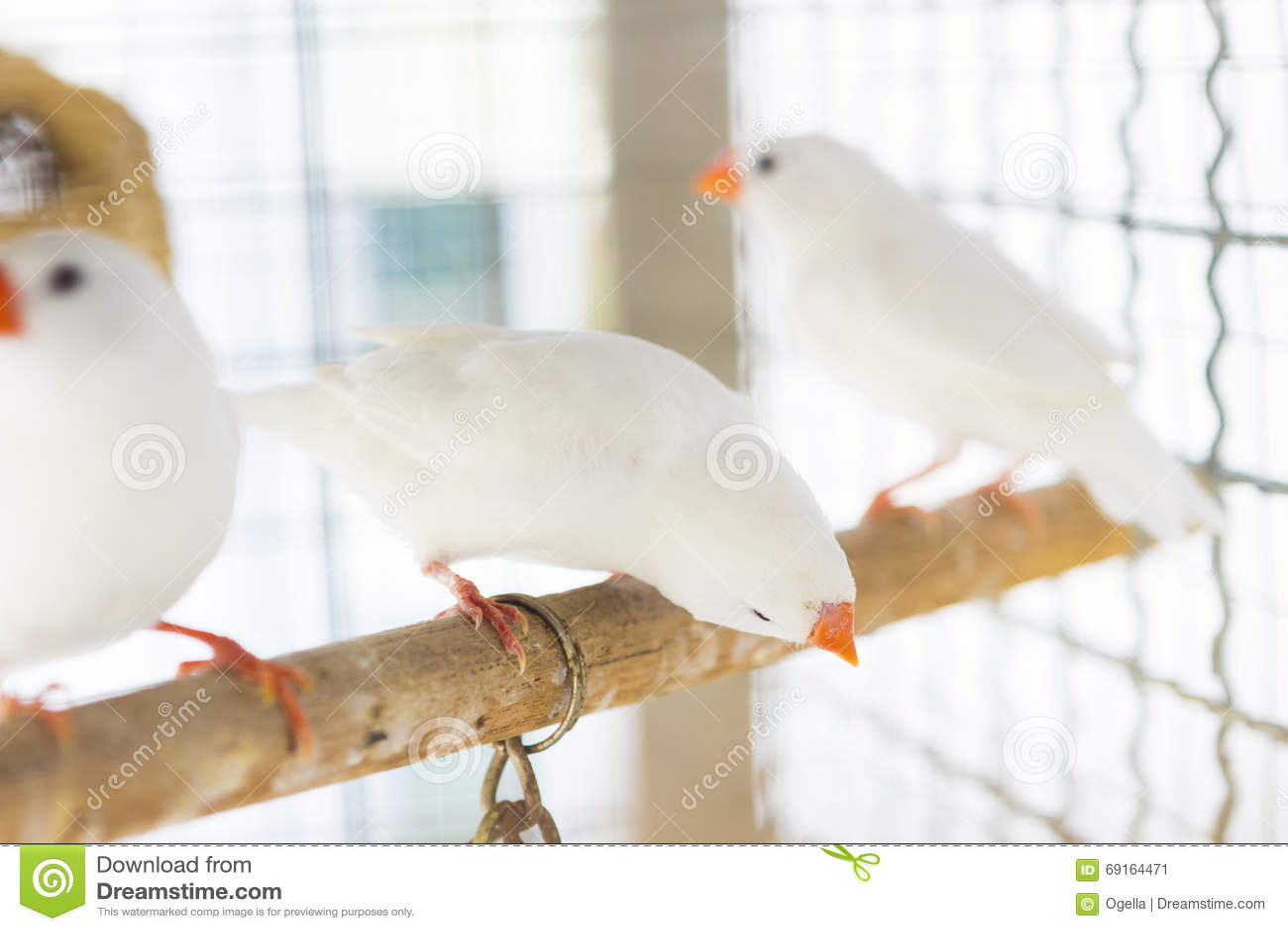 W Finch Leatherhead Biały Estrildid Finch...