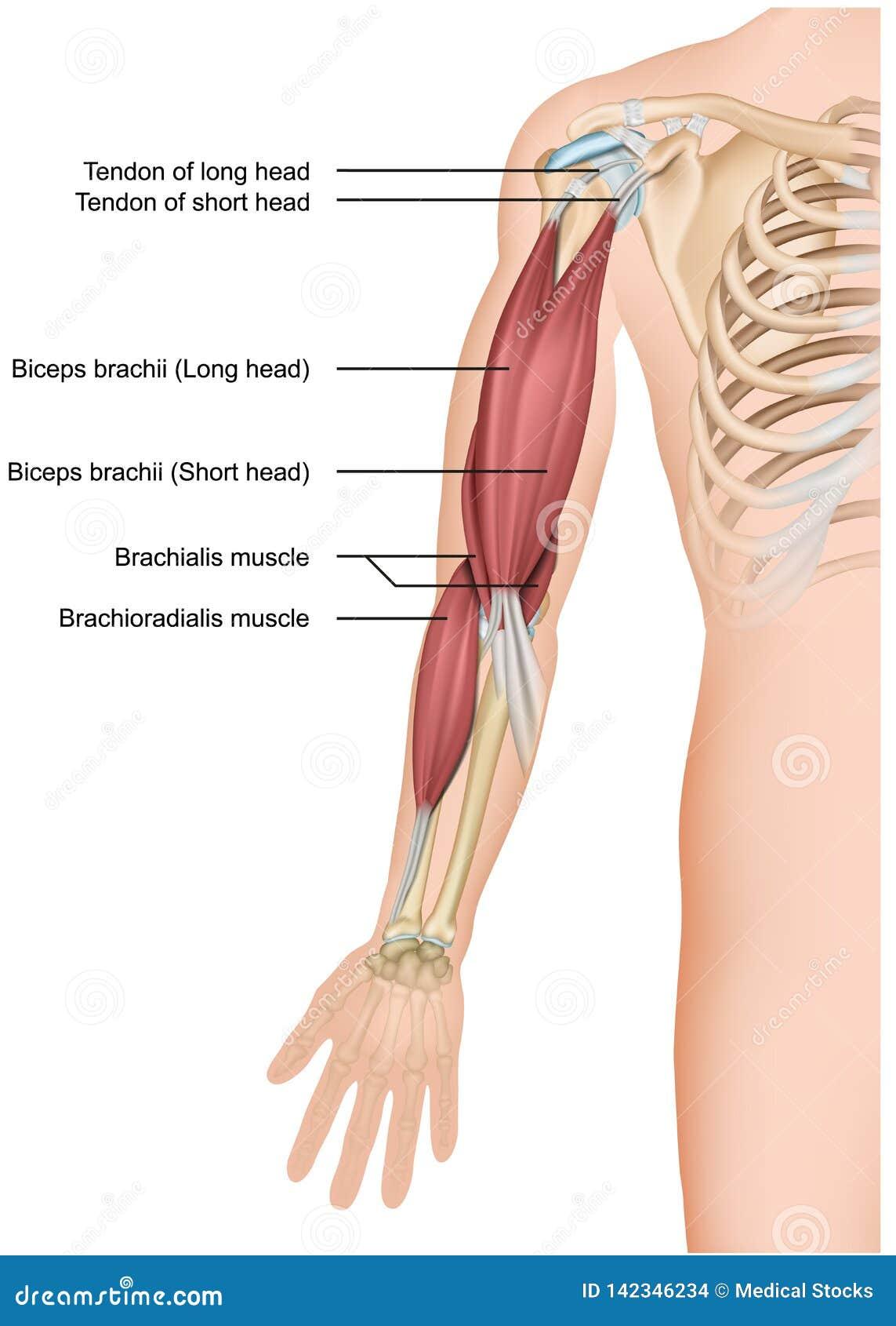 Biceps and brachioradialis anatomy 3d medical  illustration on white background