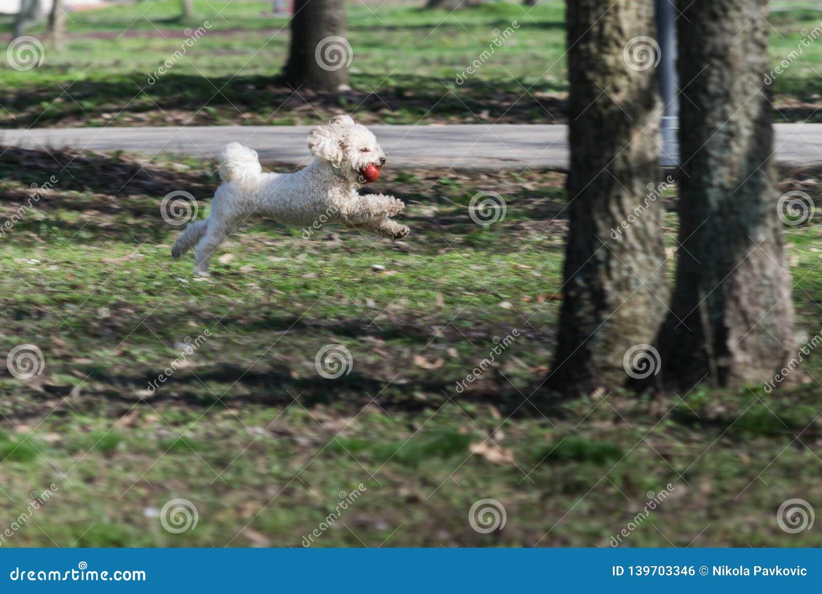 Bichon是跑和跳跃与在嘴的一个红色球在公园