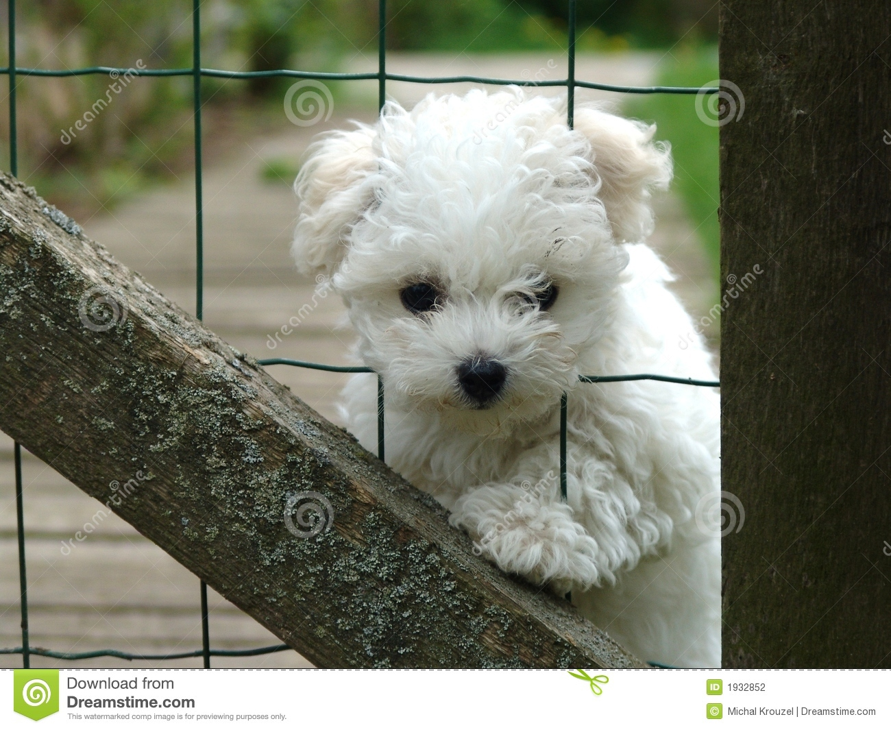 Small bolognese dog with head in fence