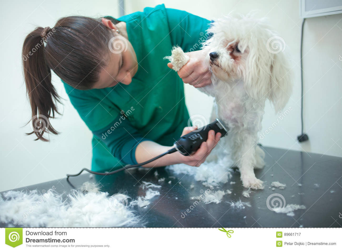 Bichon Fries Grooming With Trimmer Stock Image Image Of Animal