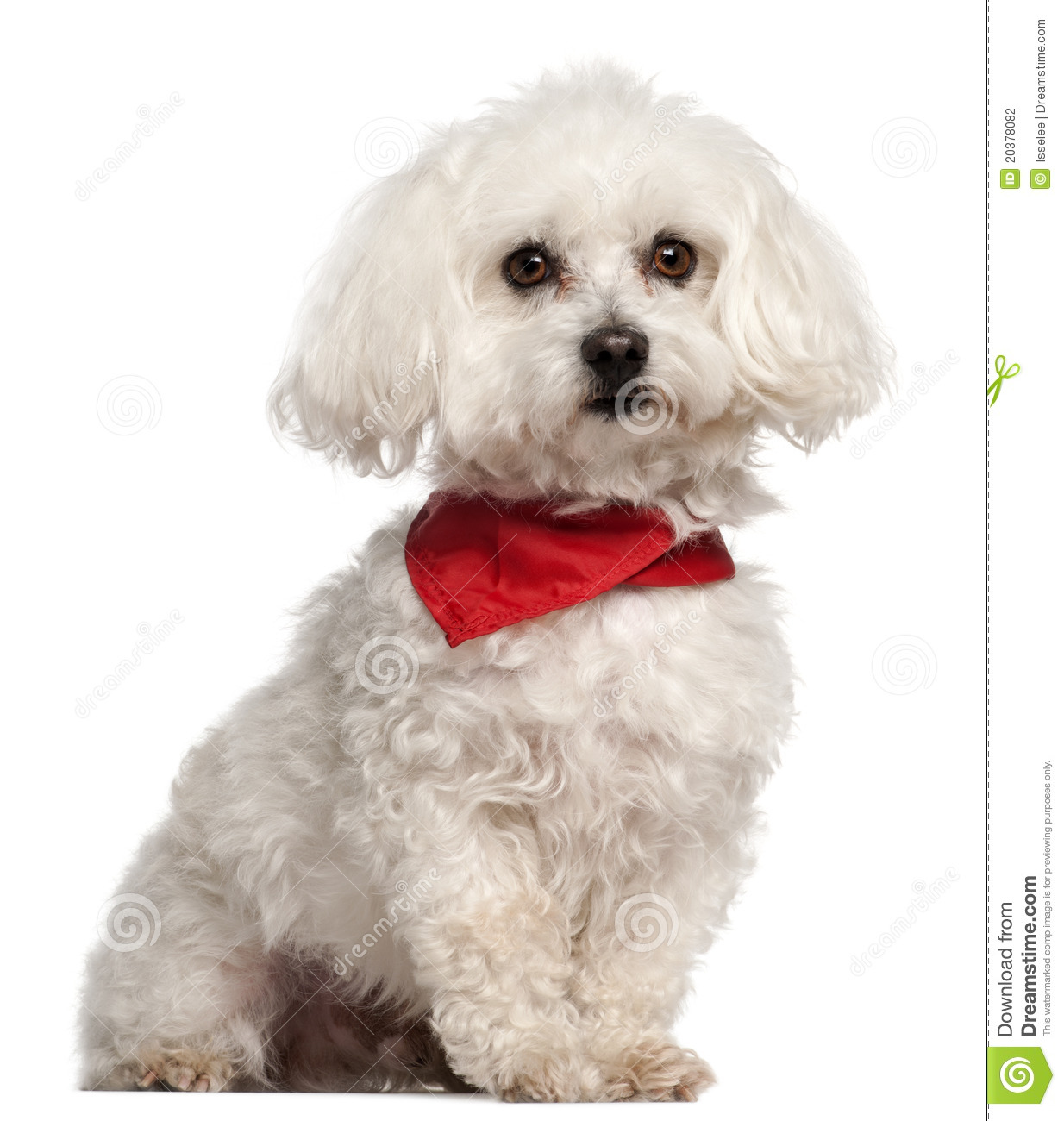 Bichon Frise, 7 Years Old, Sitting Stock Photography ...