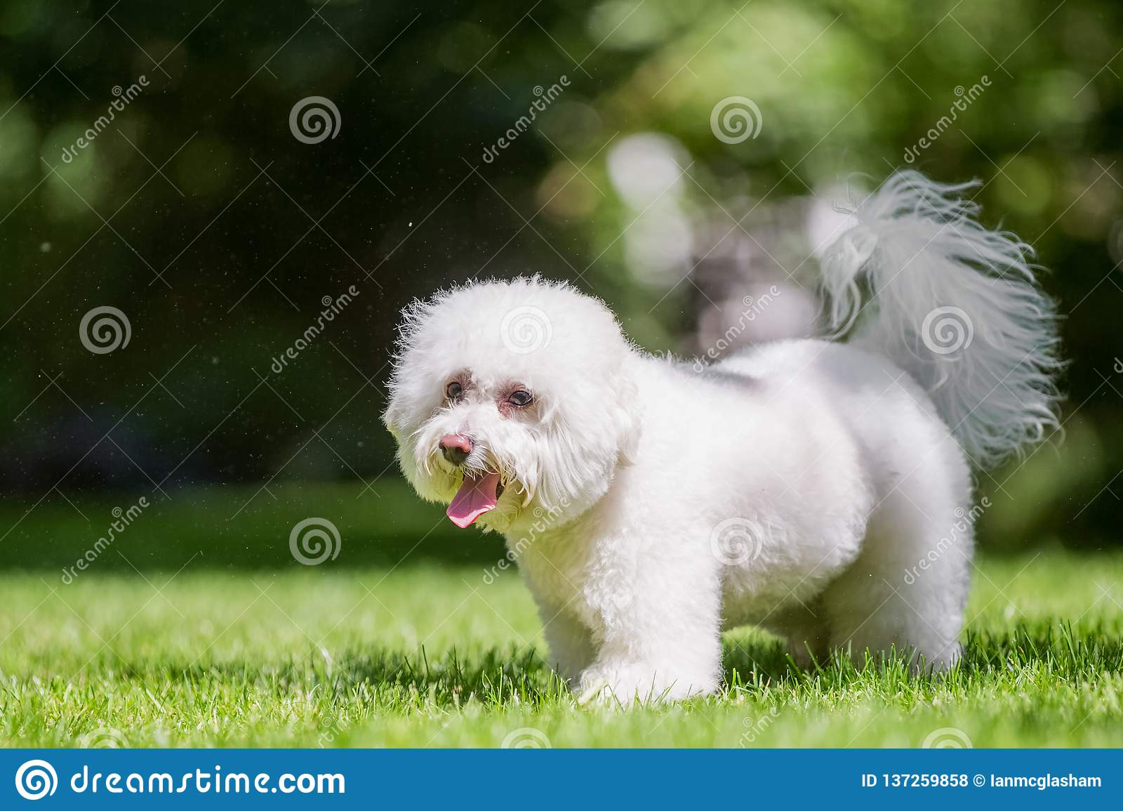 Bichon Frise Poodle Standing In A Field Looking To The Side
