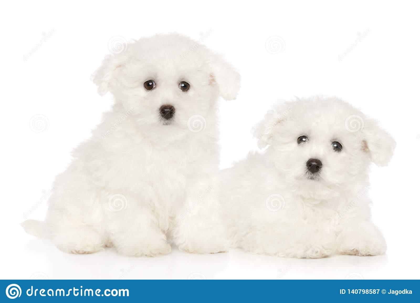 Bichon Frise Puppies On White Background Stock Image - Image