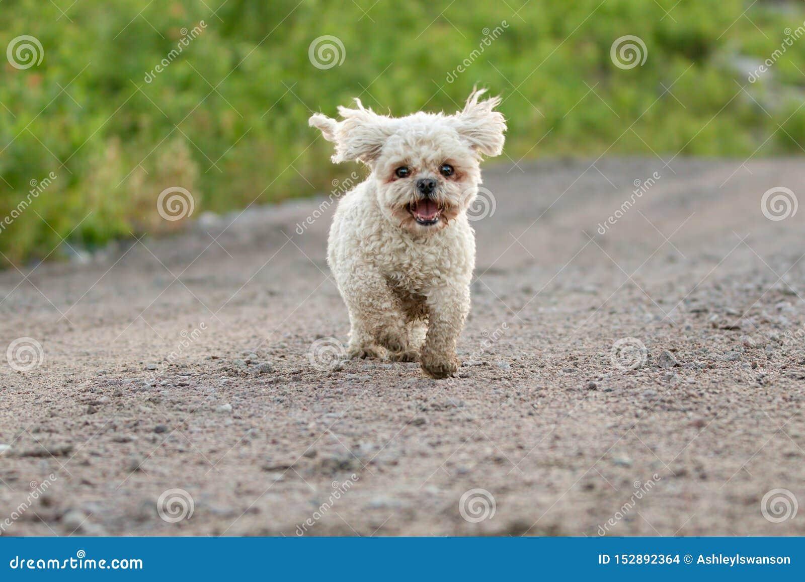 Bichon Frise Shih Tzu Mix Running Outside in Summer
