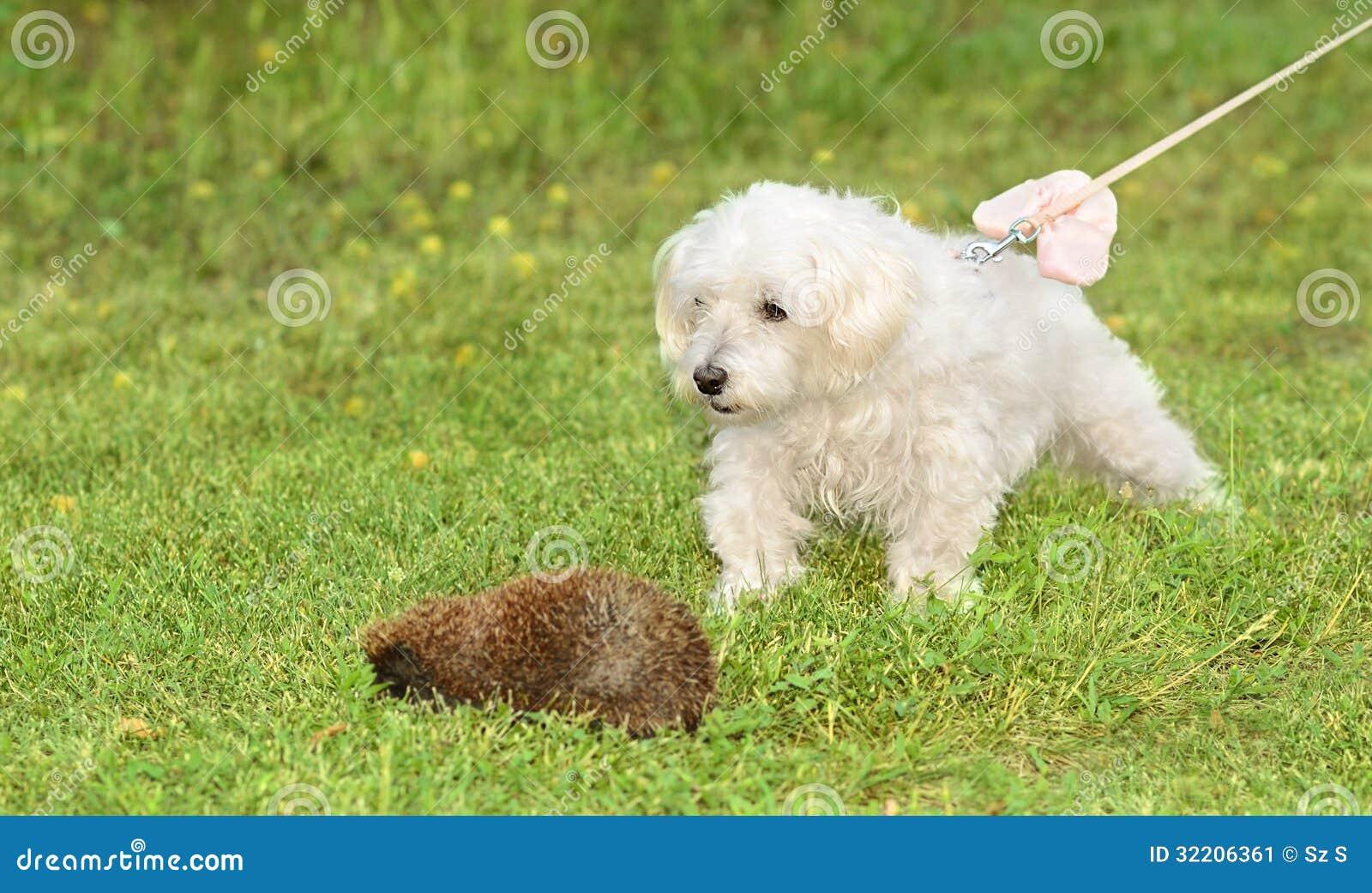 Bichon havanese hond
