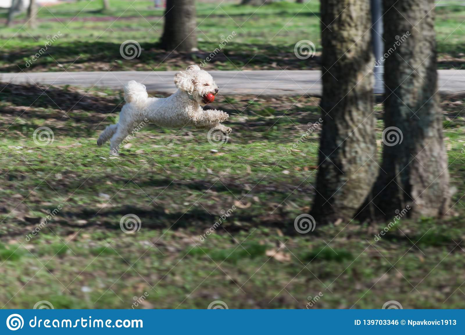 Bichon is running and jumping with a red ball in mouth in park