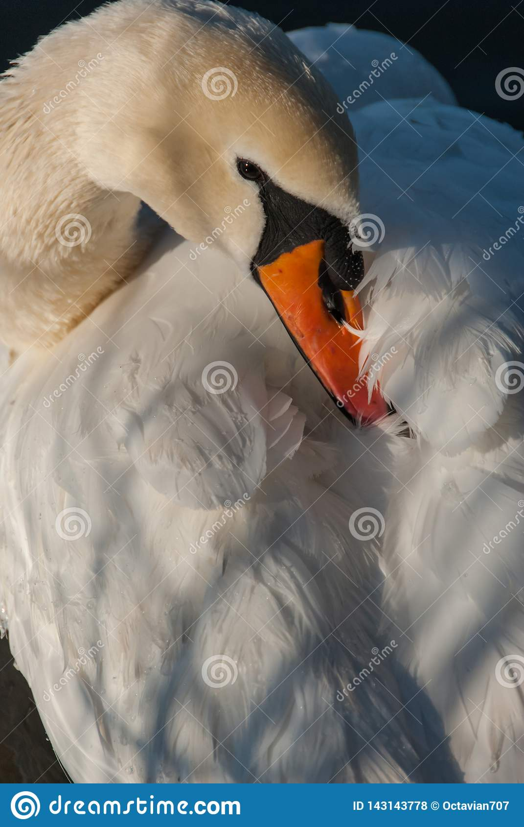 Bico escondendo da cisne em suas penas
