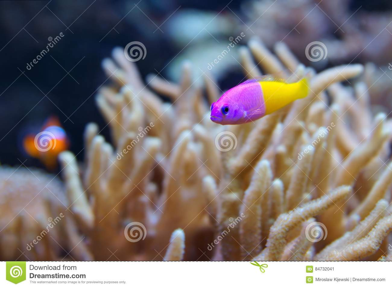 Bicolor Dottyback Pictichromis paccagnella, also called the Royal Dottyback or False Gramma