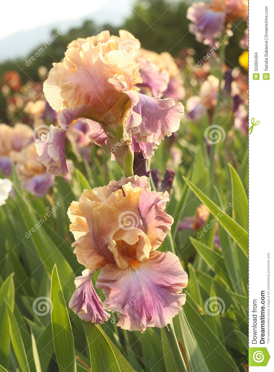 Bicolor iris on a flower bed stock photo image of season nature bicolor iris on a flower bed izmirmasajfo