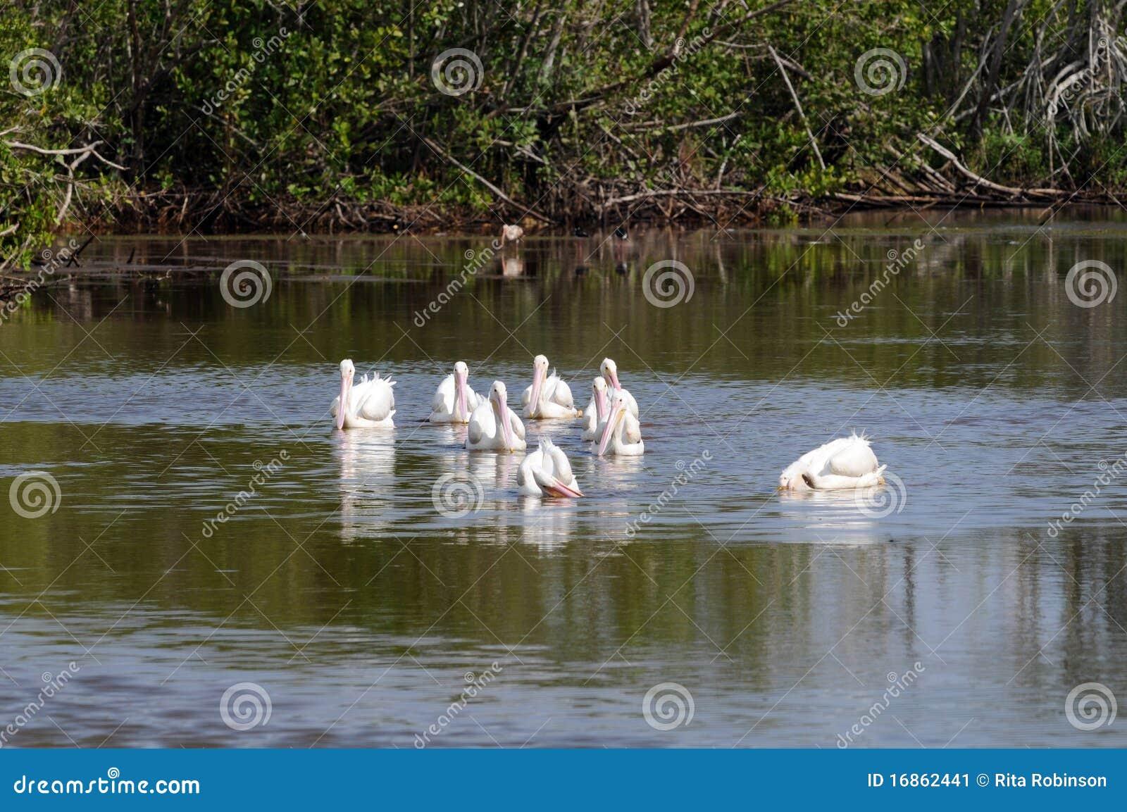 Bicos do pelicano branco