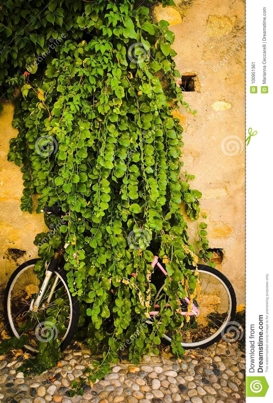 Bicycle, completely eaten by a bush, in the village