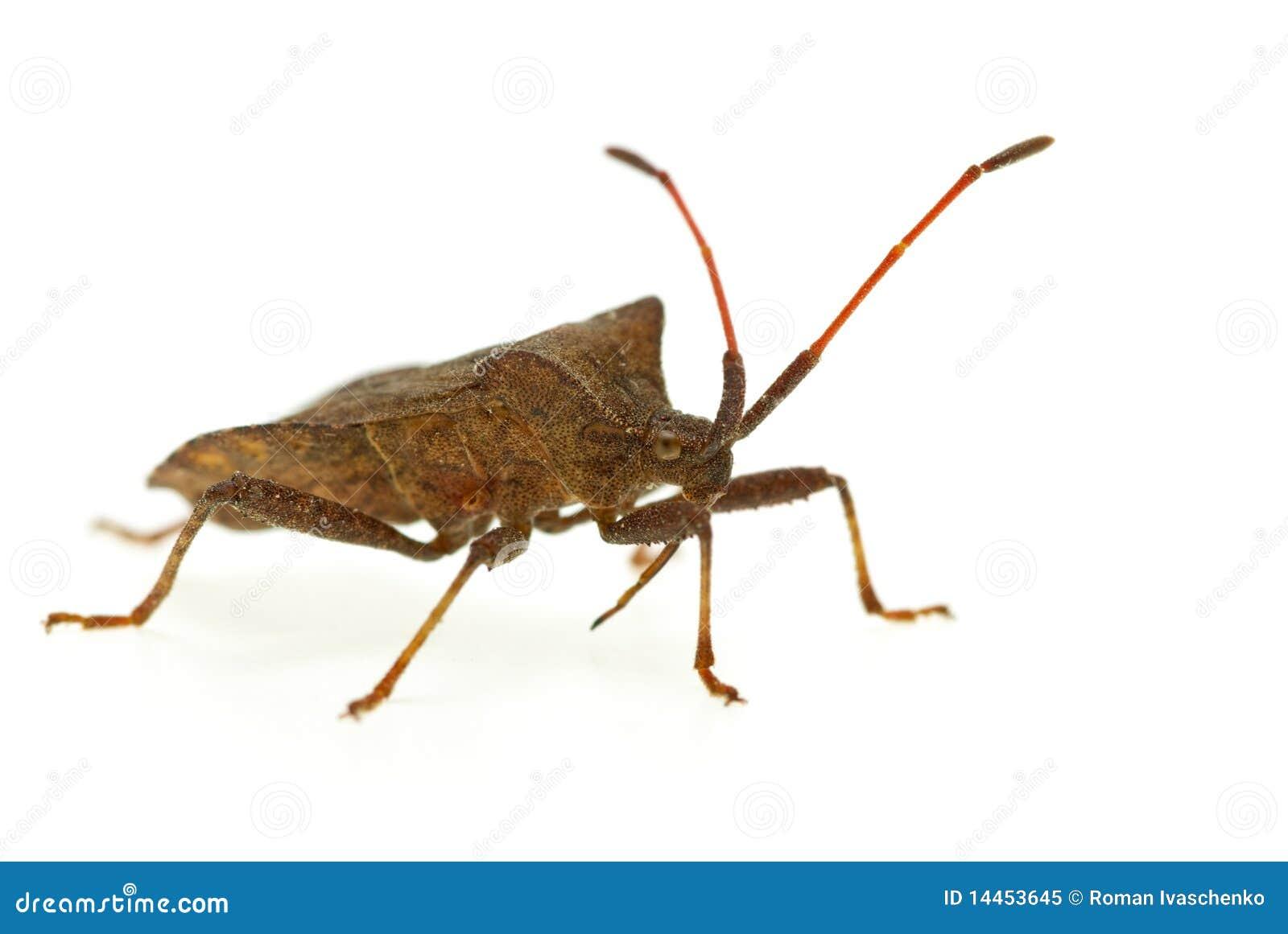 Bidens picromerus stinkbug