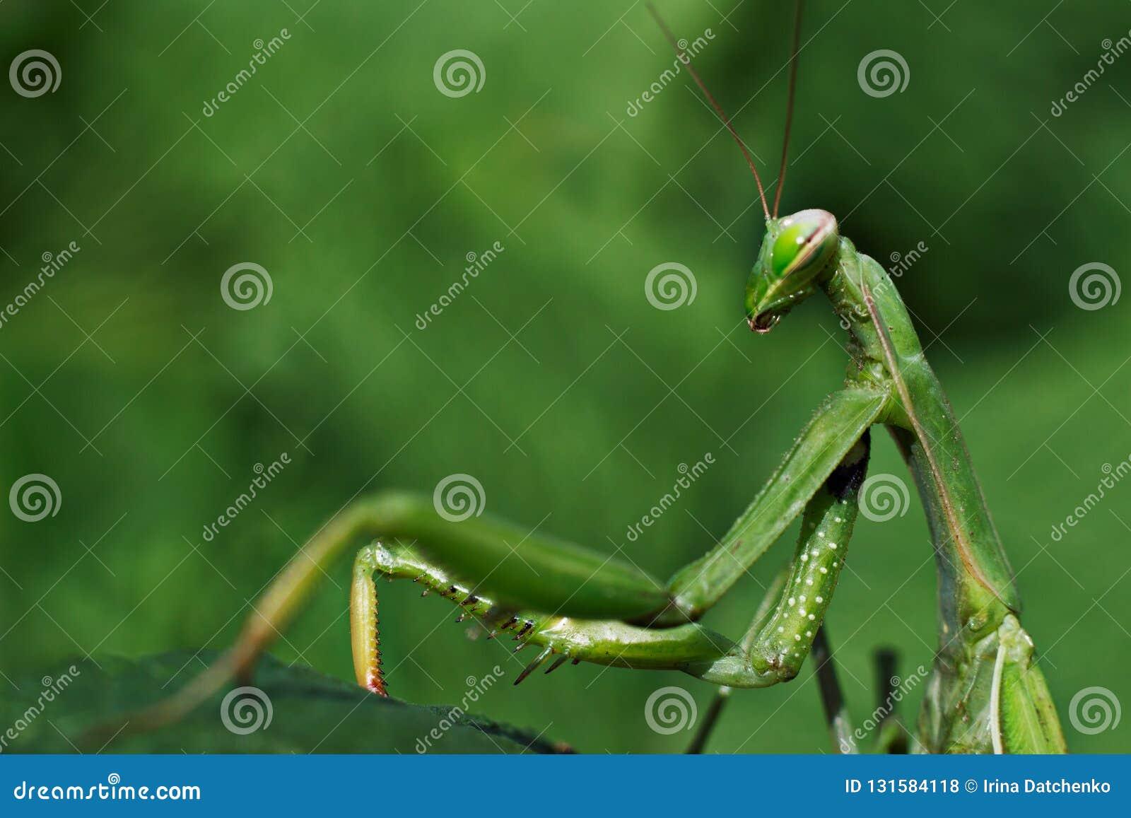 Bidsprinkhanen groen op de macro van het bladclose-up
