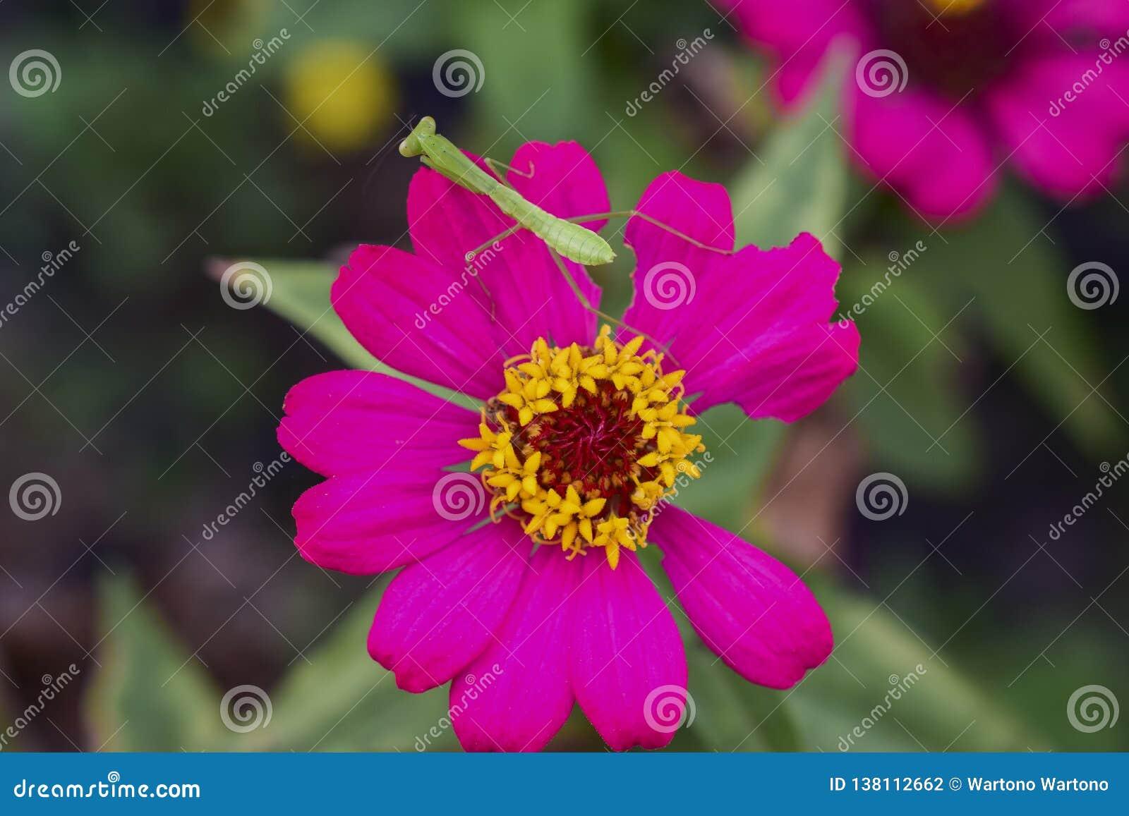 Bidsprinkhanenmantodea op purpere bloem