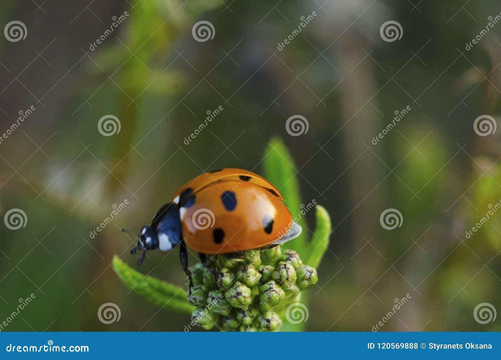 Biedronka siedzi na górze kwiatu