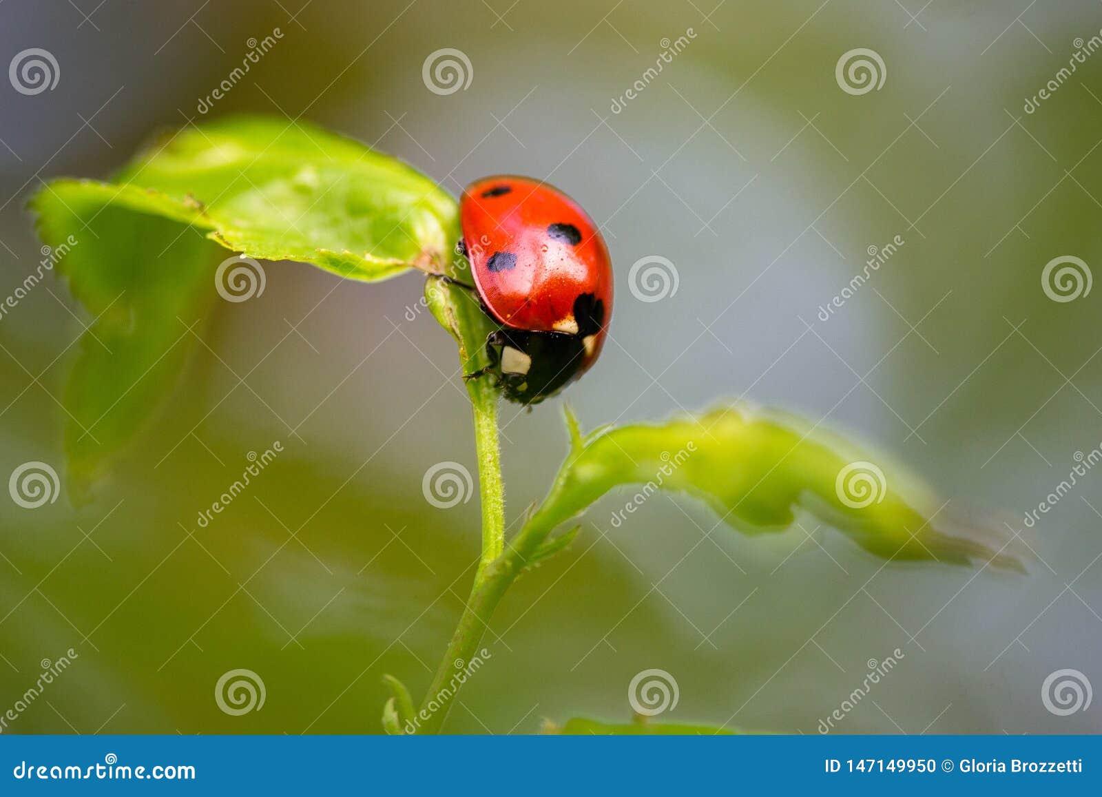 Biedronka w równowadze na małej roślinie