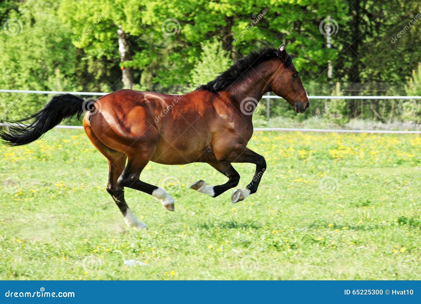 Biegowego konia bieg cwał na łące