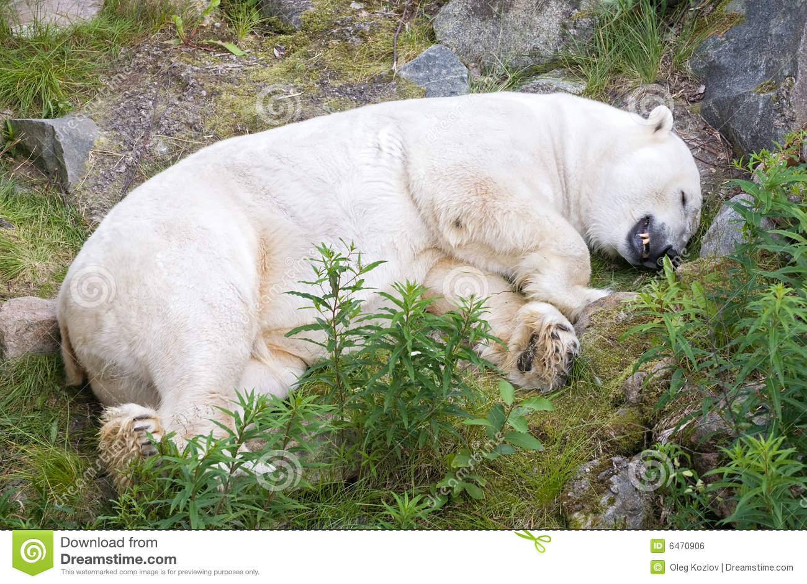 Biegunowy white bear