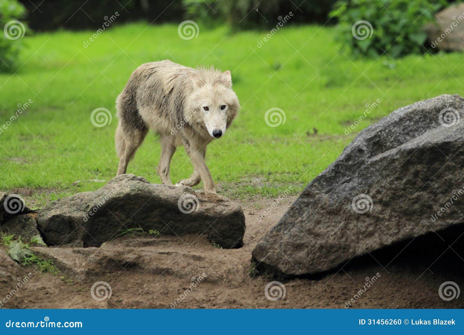 Biegunowy wilk