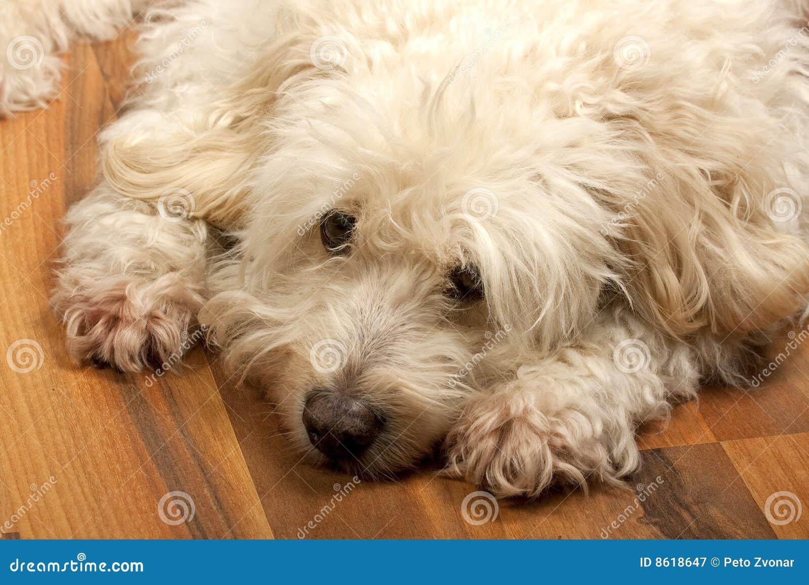 Biel gnuśny pies