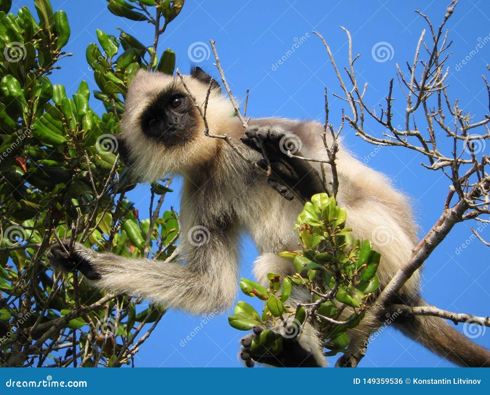 Biel ma?pa w naturalnym siedlisku zielony drzewo, Sri Lanka wyspy park