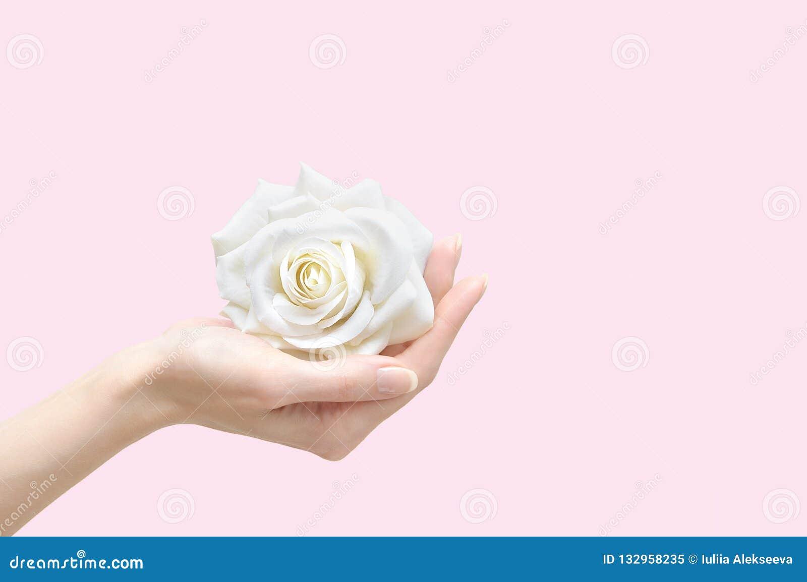 Biel róża w żeńskiej ręce