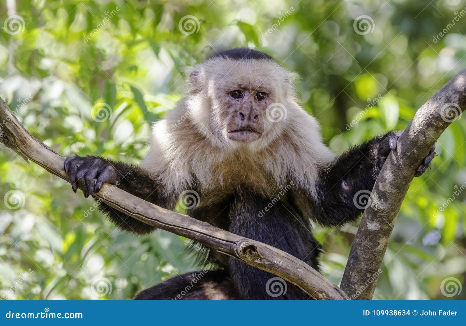 Biel Stawiająca czoło małpa marszczy brwi w drzewie