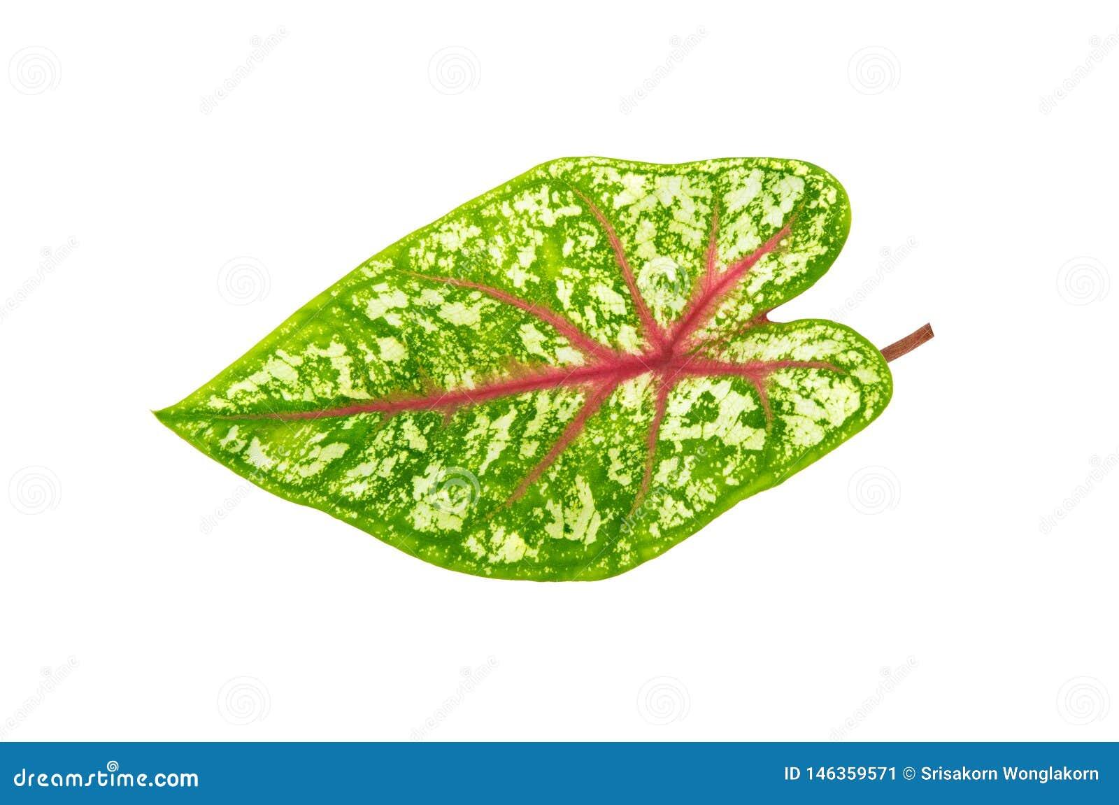 Bielu i zieleni wzory na liściach