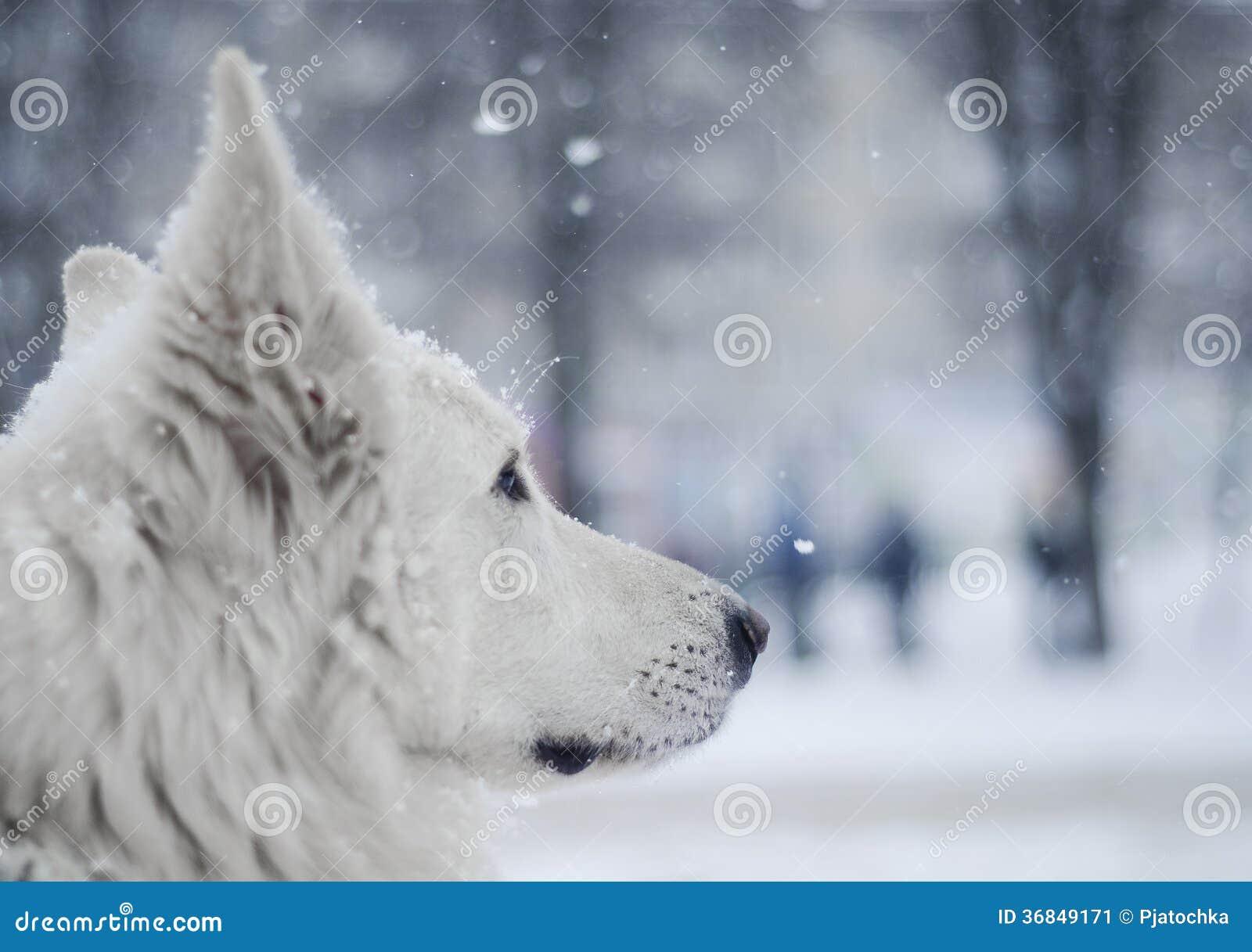 Bielu pies pod śniegiem