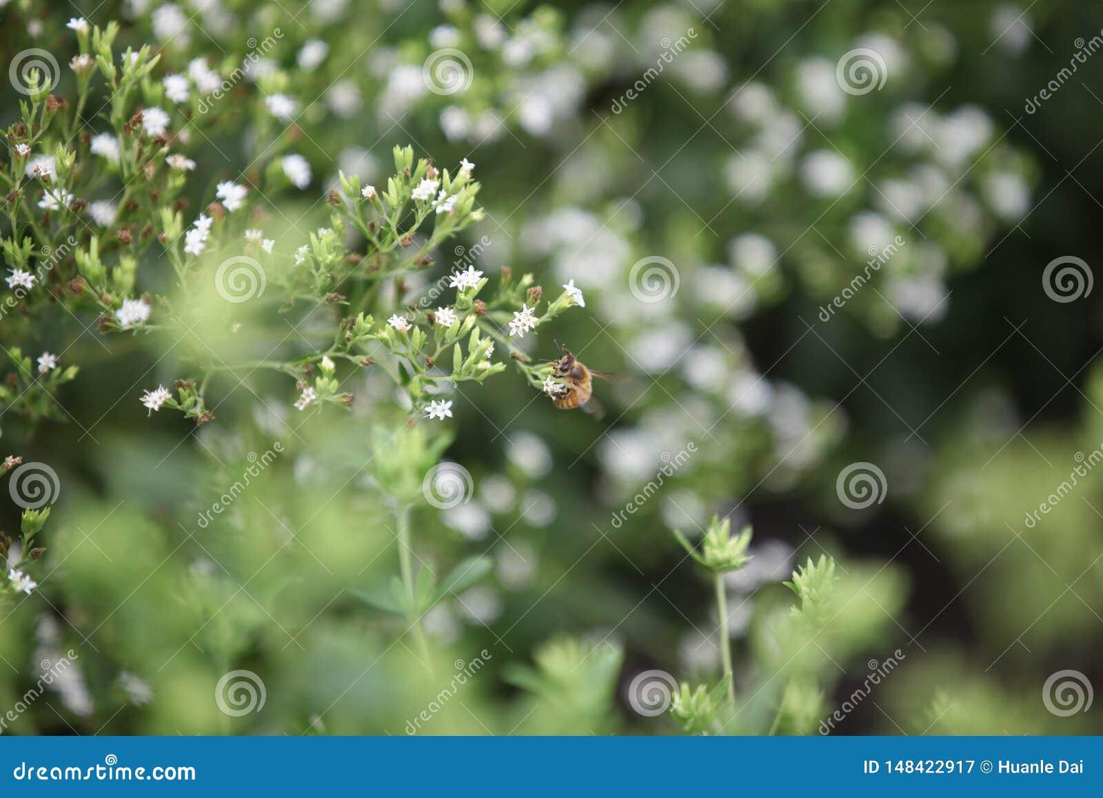 Biene auf einem Steviagebiet