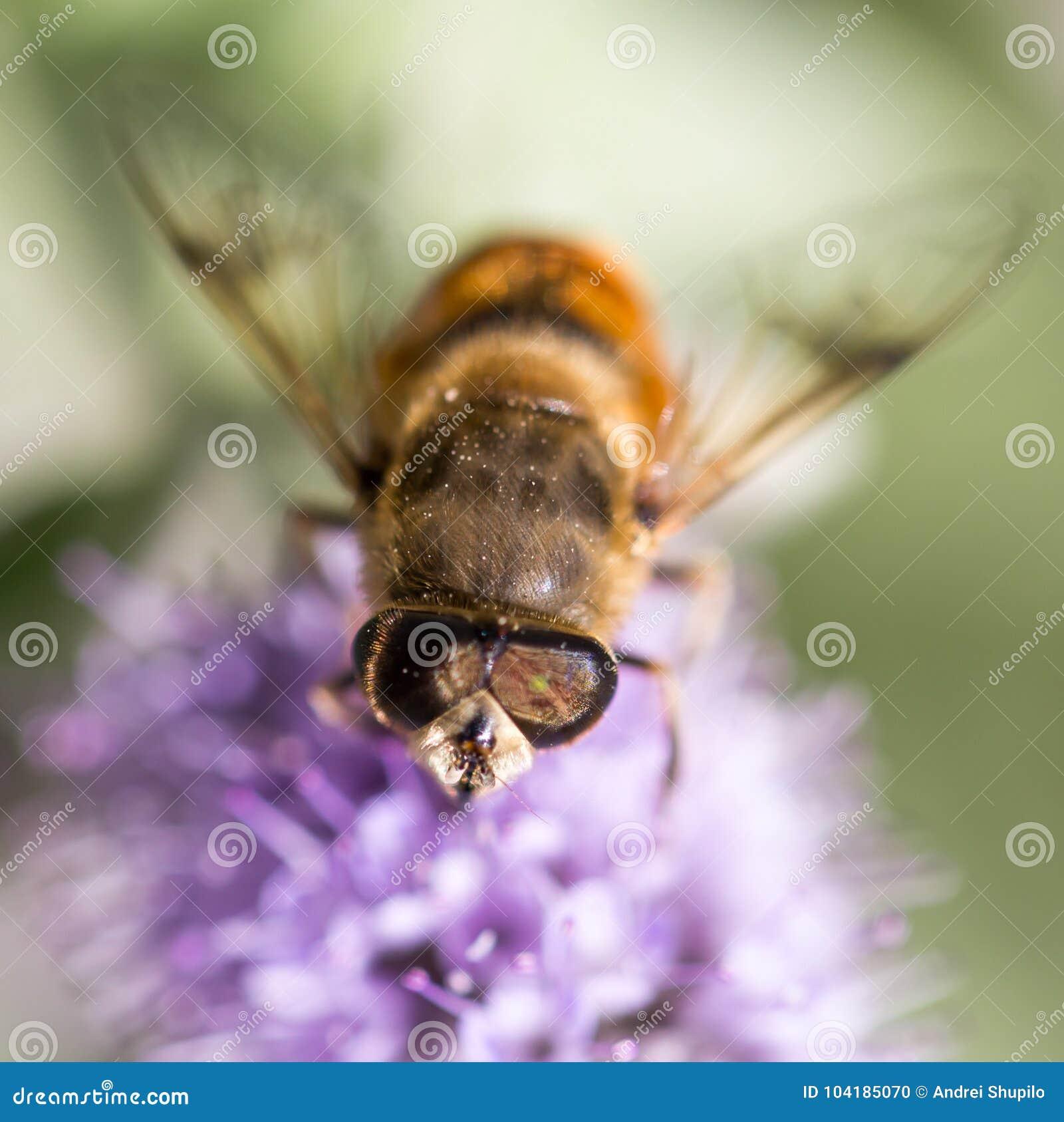 Biene auf Natur Makro