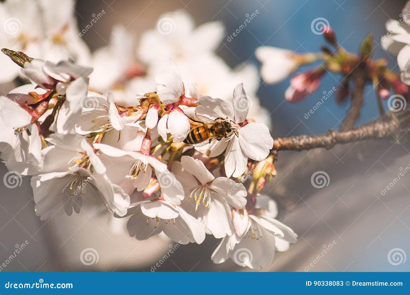 Biene, die diese Blüten riecht