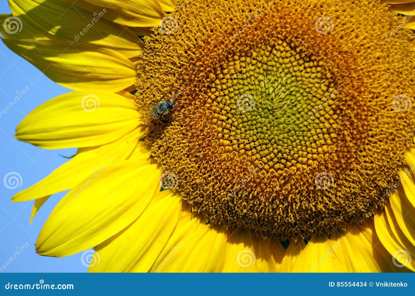 Biene sammelt Nektar und Blütenstaub