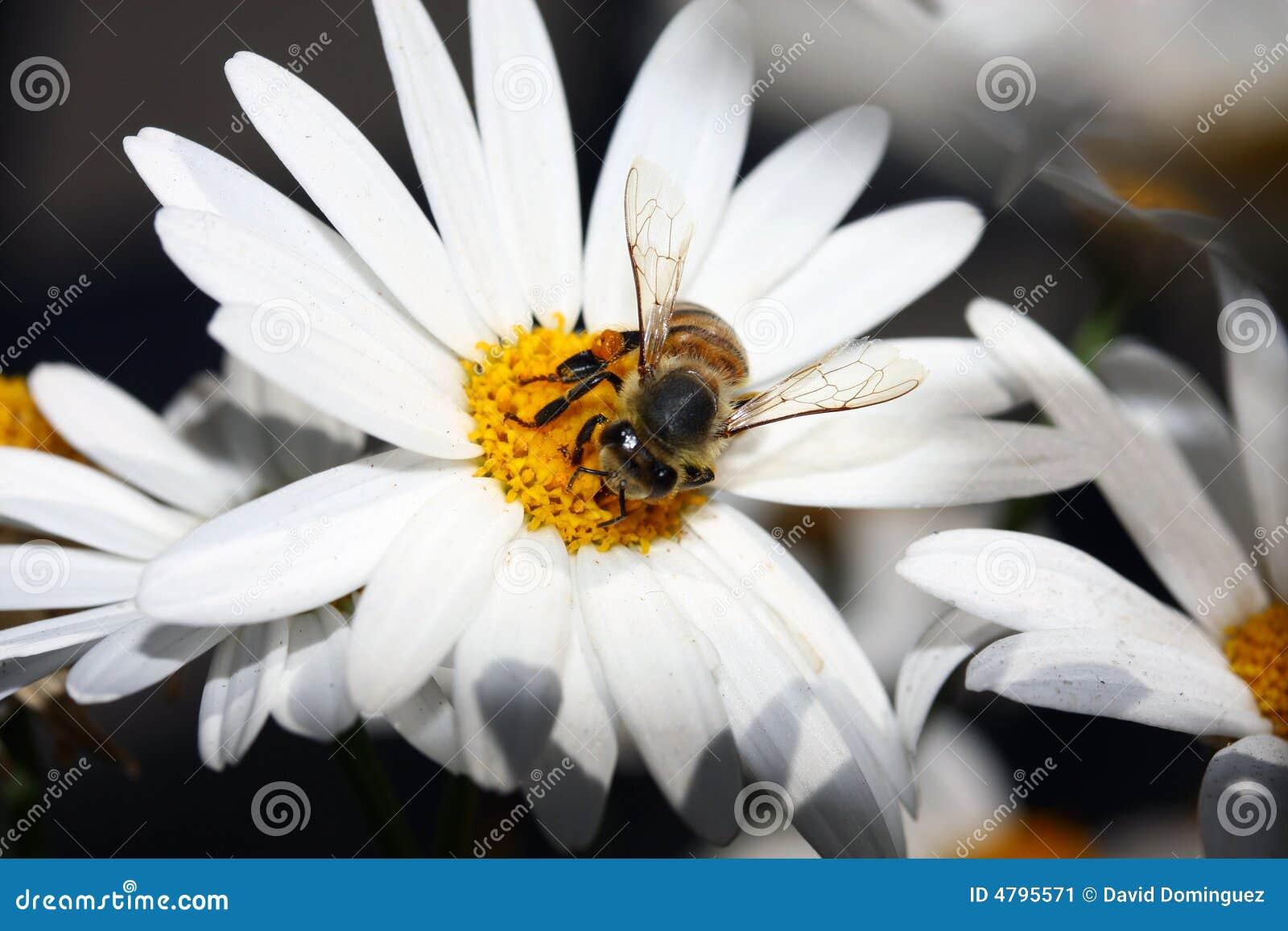 biene und blume stockbild bild von sonnenblume nave