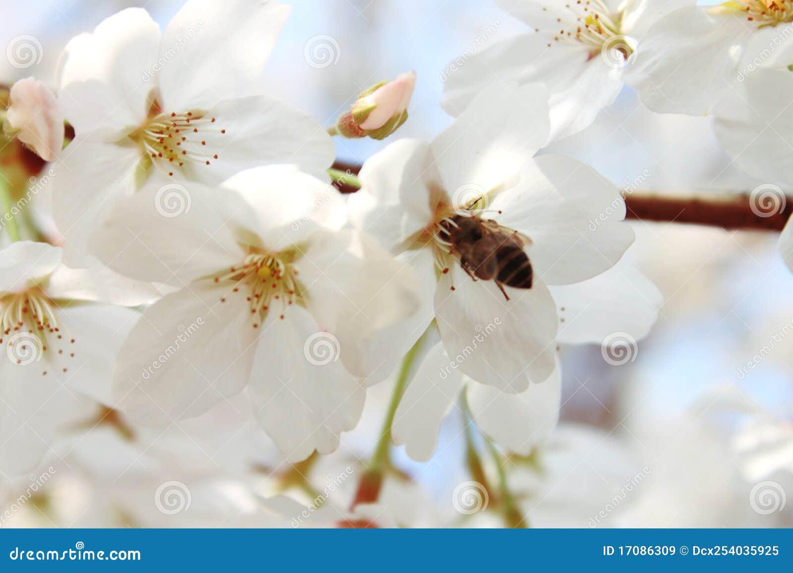 Biene und Kirsche