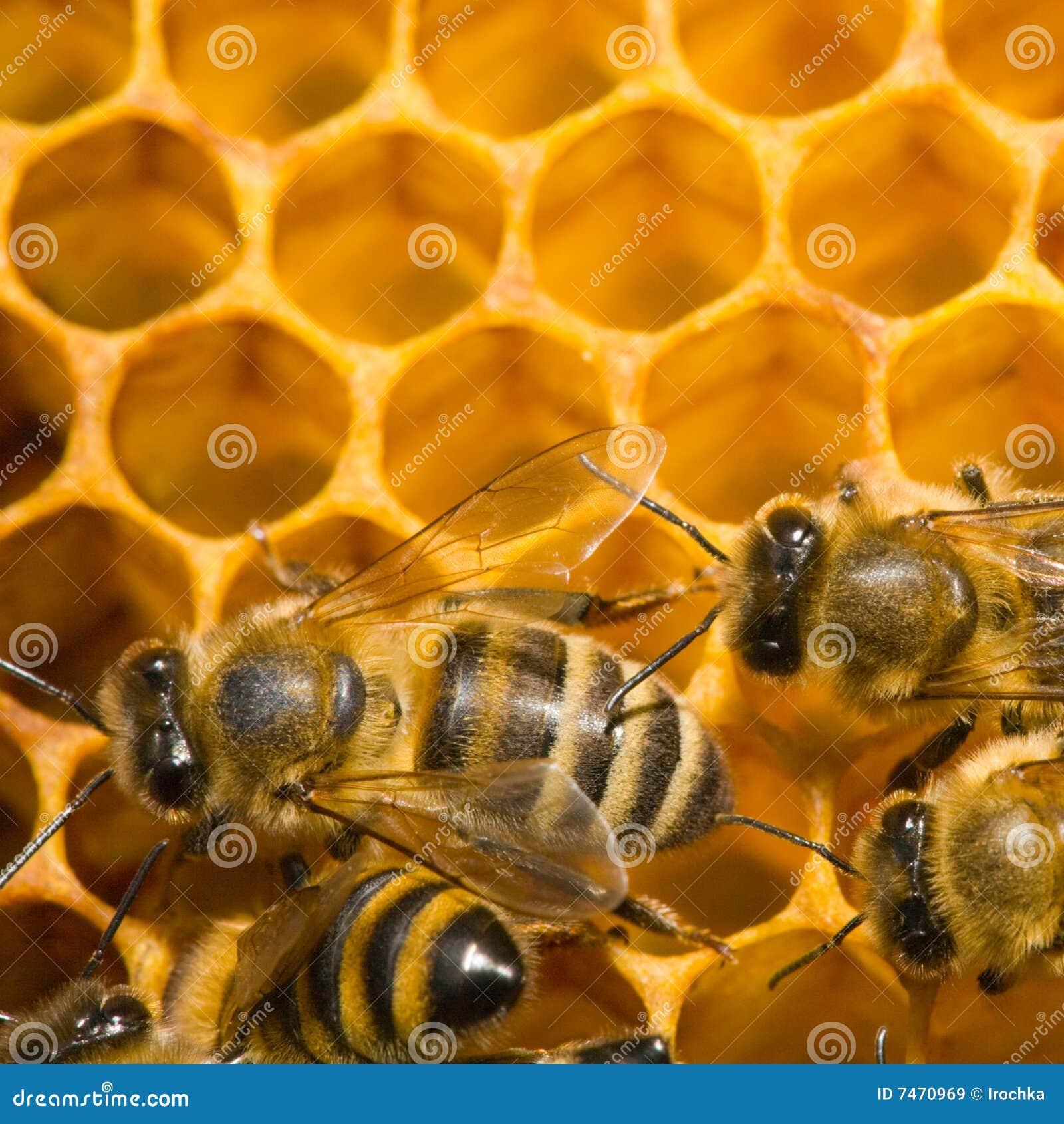 Bienen auf Bienenwabe