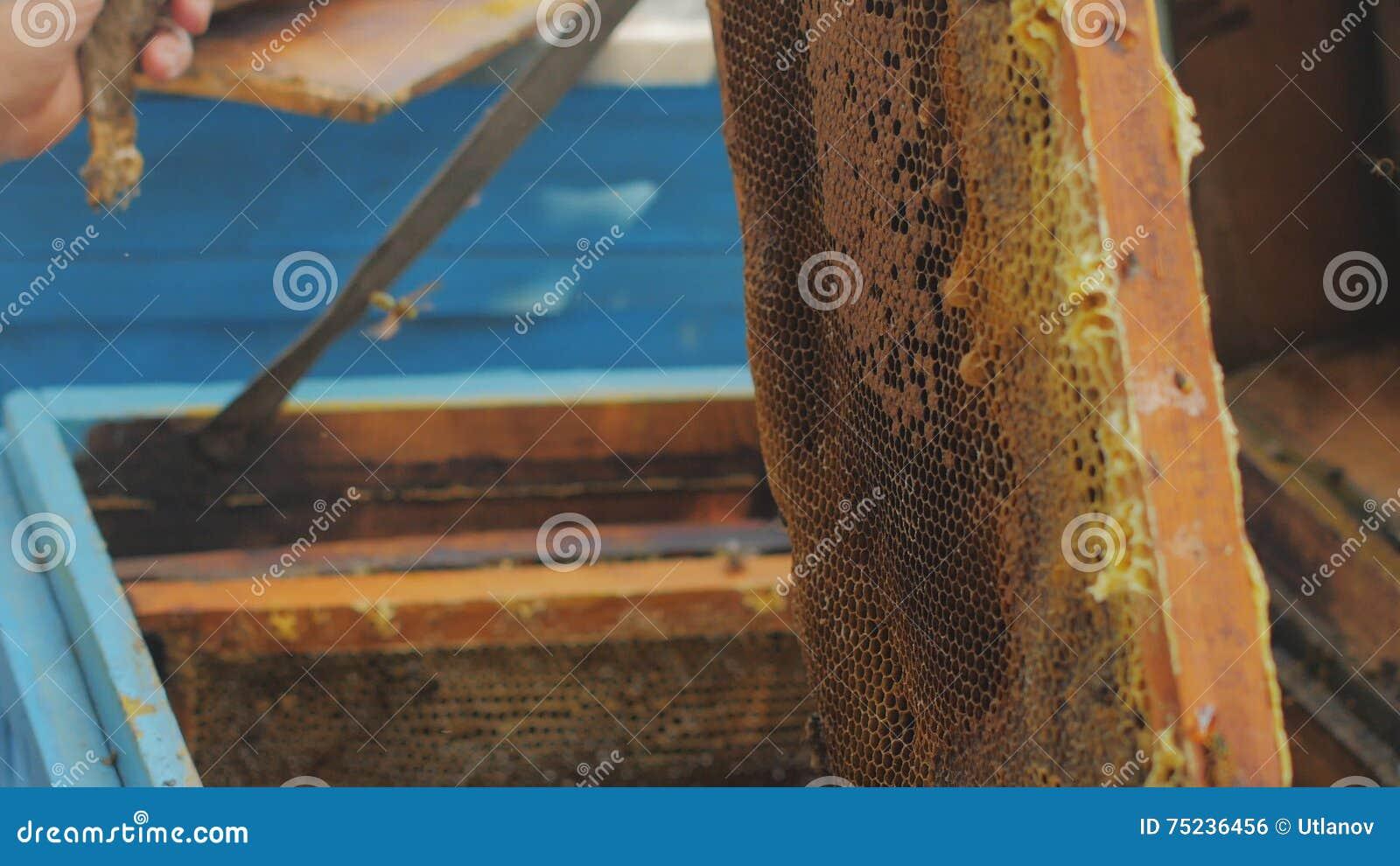 Bienen Auf Bienenwabe Honigernte Imkerdame Entfernt Leicht Bienen ...