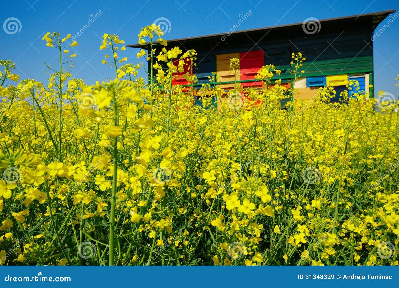 Bienenhaus und Canola