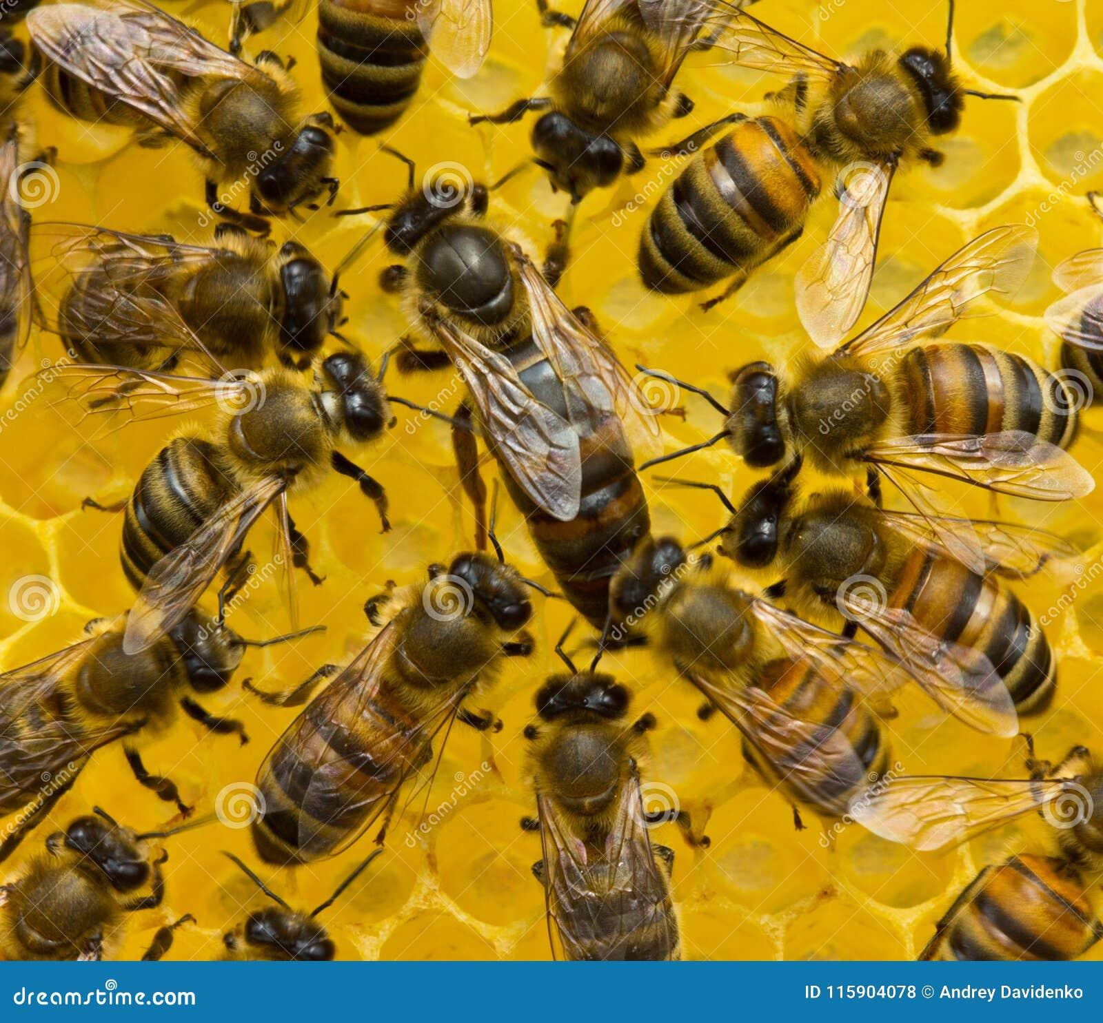 Bienenkönigin legt Eier in der Bienenwabe