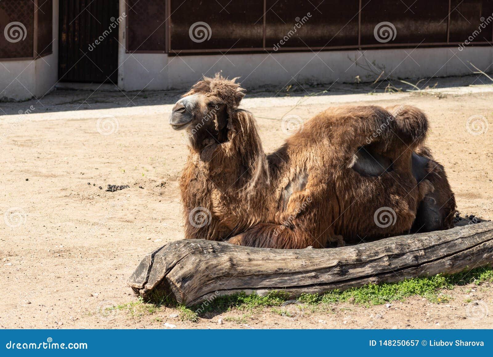 Bienestar animal pobre Camello desalinado lamentable en el parque zool?gico de Mosc?