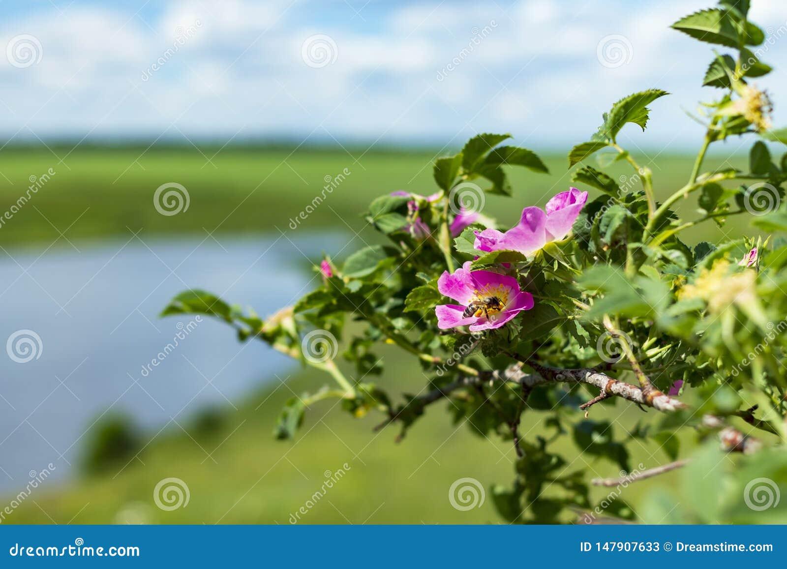 Biet p? en blomma av l?st steg