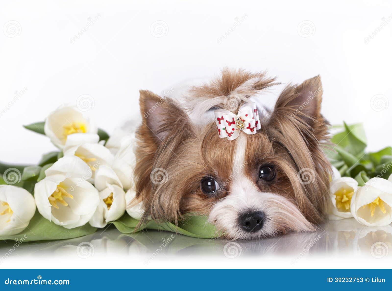 biewer狗约克和白色郁金香.图片