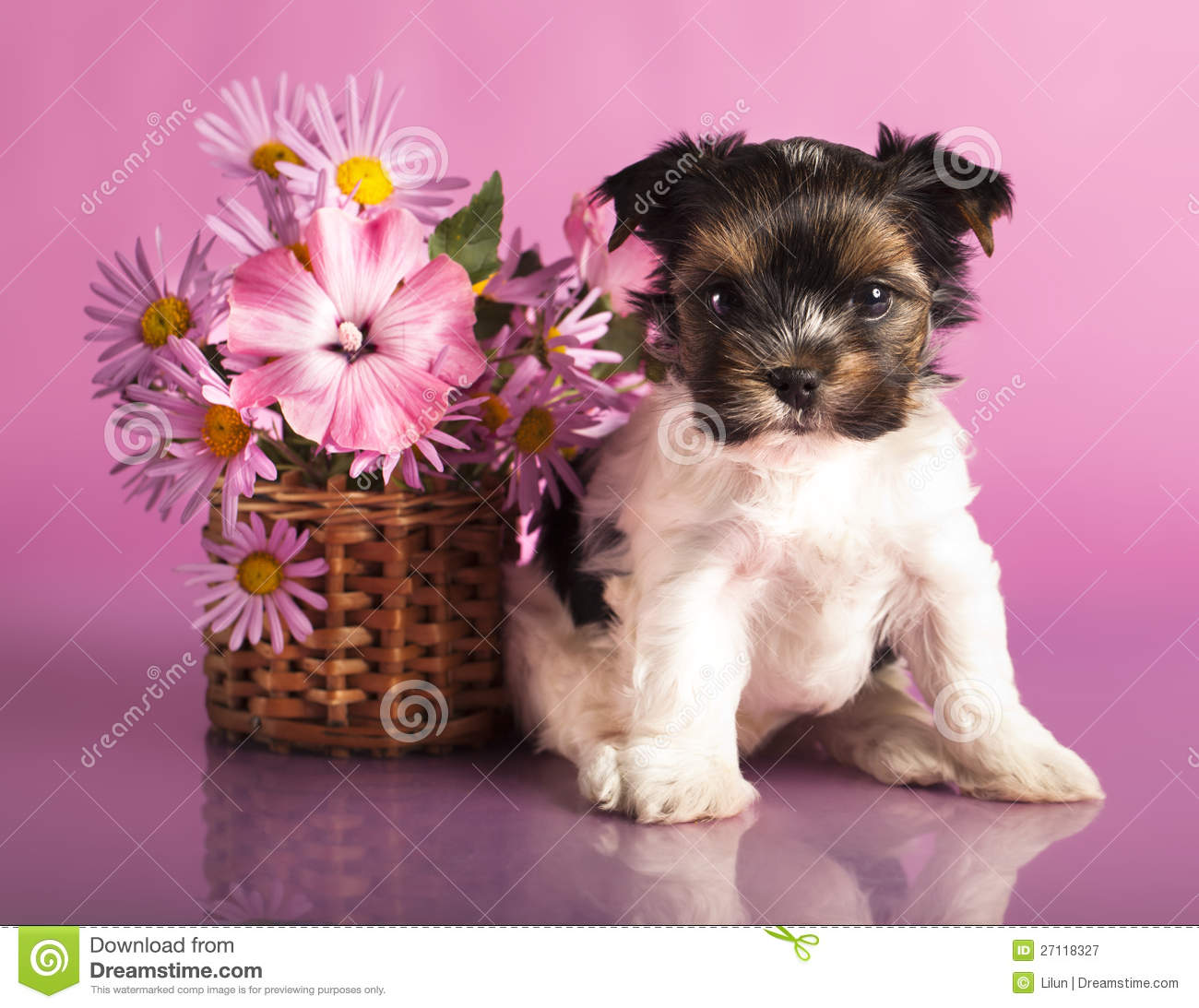 Biewer Terrier Puppies Stock Image Image Of Retro Autumn 27118327