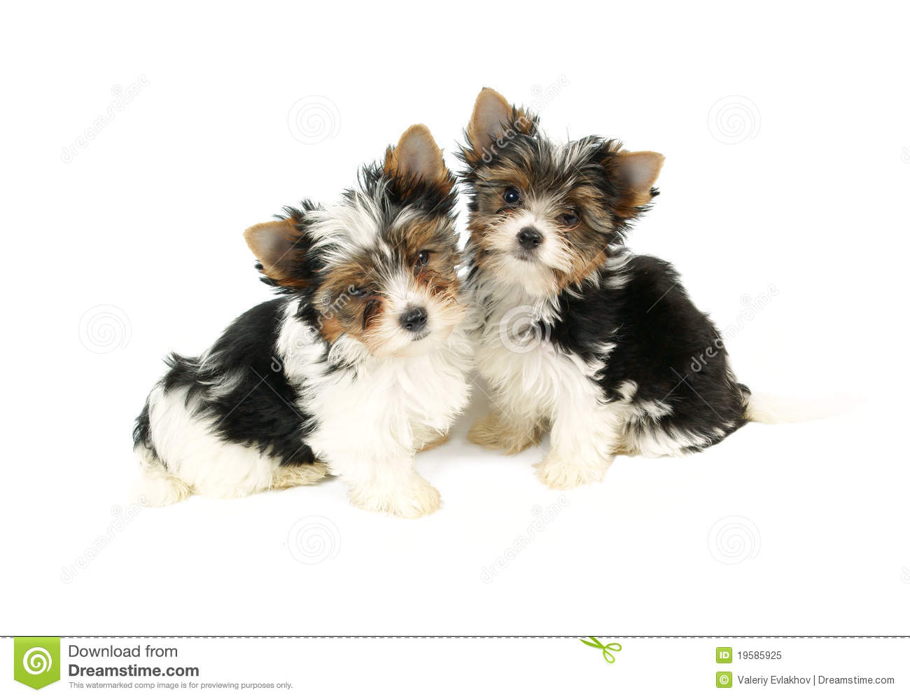 Biewer Terrier Puppies Isolated Stock Image Image Of Breed Canine