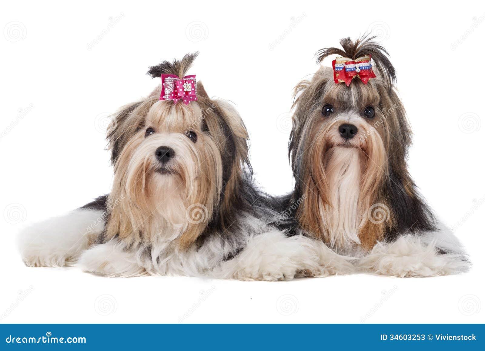Biewer Yorkshire Terrier Stockbild Bild Von Playful 34603253