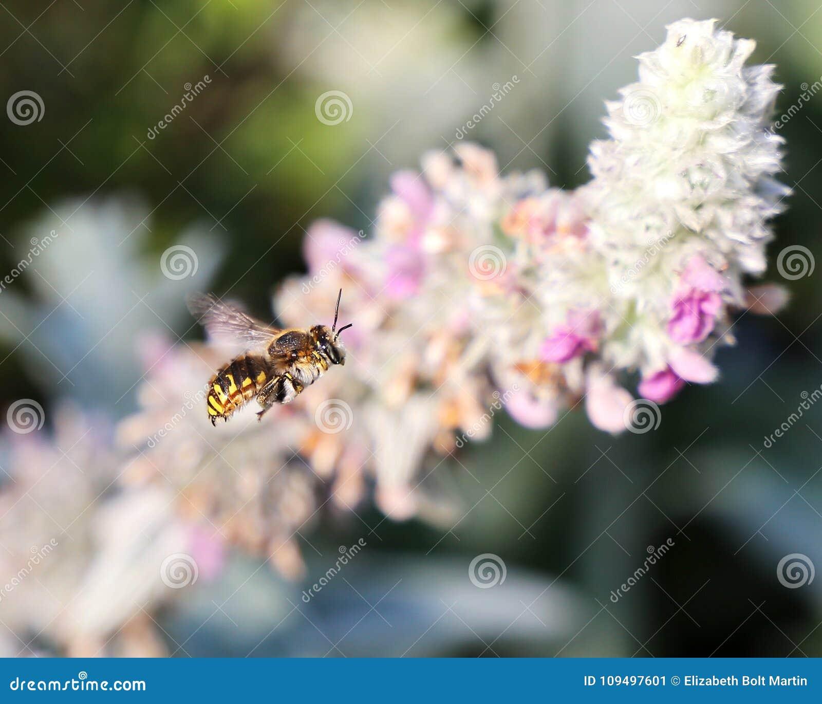 Biflyg i lammöraväxter
